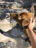Vrouwelijke meisjeshand die een mooi hert in Nara, Japan petting royalty-vrije stock foto