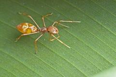 Vrouwelijke mier-mimische spin Stock Fotografie