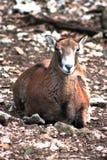 Vrouwelijke mouflonschapen die op de grond leggen stock afbeelding