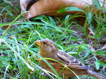 Vrouwelijke mus onder het gras Royalty-vrije Stock Foto