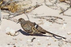 Vrouwelijke Namaqua-Duif in de woestijn van Kalahari Royalty-vrije Stock Foto's
