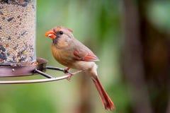 Vrouwelijke Noordelijke Kardinaal bij birdfeeder stock fotografie