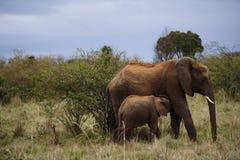 Vrouwelijke olifant die haar kalf voeden Stock Fotografie