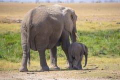 Vrouwelijke olifant met zijn jongelui Stock Fotografie