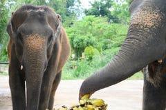 Vrouwelijke olifanten bij banaanbuffet stock foto's