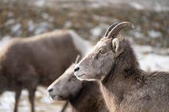 Vrouwelijke ooi bighorn schapen die in de wildernis, in de Radium Hete Lentes ontspannen Brits Colombia Schapen die aan de linker stock afbeelding