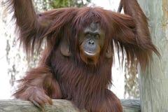 Vrouwelijke Orangoetan Stock Foto