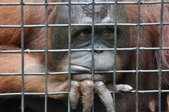 Vrouwelijke orangoetan in dierlijke kooi die droevig voelen Royalty-vrije Stock Foto's
