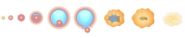 Vrouwelijke ovulatie Stock Foto's