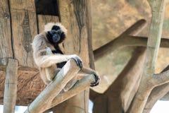Vrouwelijke Pileated Gibbon zit op een alleen toppositie stock afbeelding