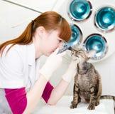 Vrouwelijke professionele dierenarts arts die de ogen van de huisdierenkat onderzoeken royalty-vrije stock foto