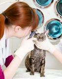 Vrouwelijke professionele dierenarts arts die de ogen van de huisdierenkat onderzoeken royalty-vrije stock afbeeldingen