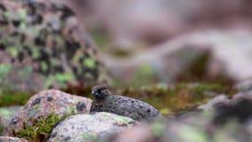 Vrouwelijke ptarmigan muta die van Lagopus onder de puinkegel in recent augustus in het rookkwartsen nationale park lopen, Schotl stock video