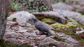 Vrouwelijke ptarmigan muta die van Lagopus onder de puinkegel in recent augustus in het rookkwartsen nationale park lopen, Schotl stock footage