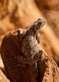 Vrouwelijke Red-headed Agama Royalty-vrije Stock Afbeelding