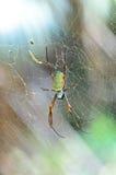 Vrouwelijke Reuze Gouden Orb Weaver Spider Stock Foto's