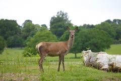 Vrouwelijke Rode Herten Stock Foto's