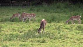 Vrouwelijke Rode Herten stock footage