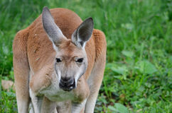Vrouwelijke rode kangoeroe Stock Foto's