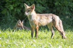 Vrouwelijke rode vos met zijn jongelui Stock Foto's