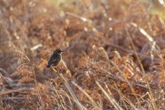 Vrouwelijke rubicola van Stonechat Saxicola op dode adelaarsvaren Royalty-vrije Stock Foto's
