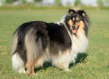Vrouwelijke Ruwe Collie Dog Stock Foto's