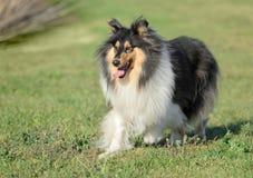 Vrouwelijke Ruwe Collie Dog Stock Afbeeldingen