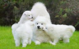 Vrouwelijke Samoyed-hond met puppy Stock Afbeeldingen