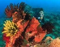 Vrouwelijke Scuba-duiker op veersterren Stock Afbeeldingen