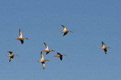 Vrouwelijke Slobeenden op de vleugel royalty-vrije stock afbeelding