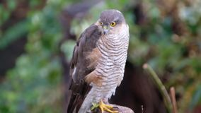 Vrouwelijke Sparrowhawk die naar prooi zoeken stock footage