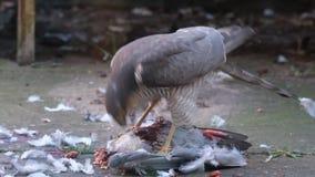 Vrouwelijke sperwer met wild duifdoden in stedelijke huistuin stock footage