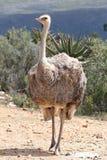 Vrouwelijke Struisvogel Stock Foto's