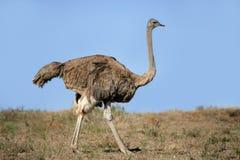 Vrouwelijke struisvogel Stock Foto
