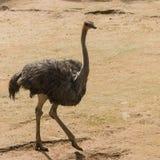 Vrouwelijke struisvogel Royalty-vrije Stock Foto's