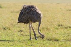 Vrouwelijke struisvogel Royalty-vrije Stock Foto