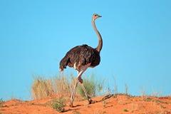 Vrouwelijke struisvogel Stock Afbeelding