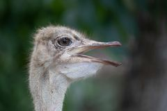 Vrouwelijke struisvogel bij de Dierentuin van Taipeh stock fotografie
