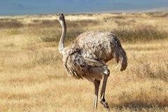 Vrouwelijke struisvogel die rond eruit zien Stock Afbeelding