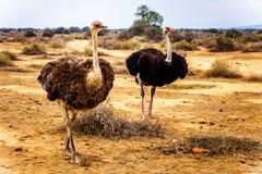 Vrouwelijke Struisvogel en Mannelijke Struisvogel bij een Struisvogellandbouwbedrijf in Oudtshoorn in de Westelijke Kaapprovincie Royalty-vrije Stock Foto's