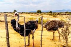 Vrouwelijke Struisvogel en Mannelijke Struisvogel bij een Struisvogellandbouwbedrijf in Oudtshoorn in de Westelijke Kaapprovincie Stock Fotografie