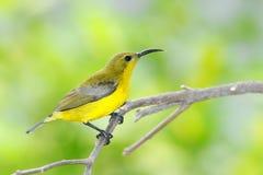 Vrouwelijke Sunbird stock afbeelding