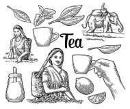 Vrouwelijke theeplukkers die bladeren, ruiter op olifant, citroen, kop oogsten royalty-vrije illustratie