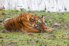Vrouwelijke tijger in Tadoba NP in India stock foto's