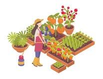 Vrouwelijke tuinman of landbouwers het water geven gewassen in dozen groeien of planters die op witte achtergrond worden geïsolee vector illustratie