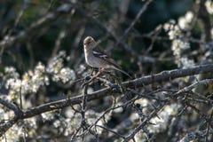 Vrouwelijke vink wilde die vogel Fringilla coelebs op takken met de lentebloesem wordt neergestreken stock afbeelding