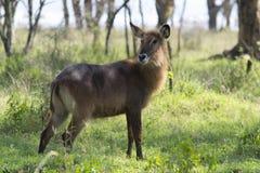 Vrouwelijke Waterbuck-antilope Stock Afbeelding