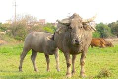 vrouwelijke waterbuffel en haar kalf Royalty-vrije Stock Foto's