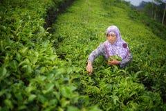 Vrouwelijke werknemer het plukken theebladen op Theeaanplanting royalty-vrije stock fotografie