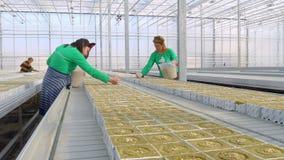 Vrouwelijke werknemer het zaaien tomaten hybride zaden stock videobeelden